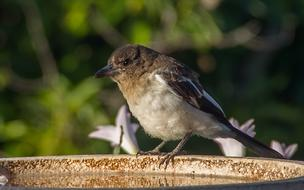 Pied Butcher Young bird