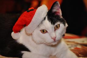photo of a black and white cat in a Christmas cap