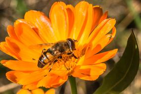 Hover Fly Insect orange flower