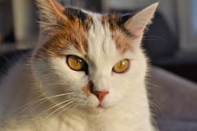 Cat with White and red face