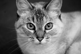 Cat Portrait Black White