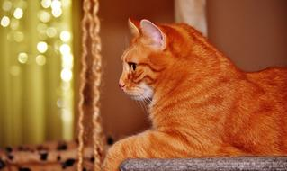 Red Cat resting, side view