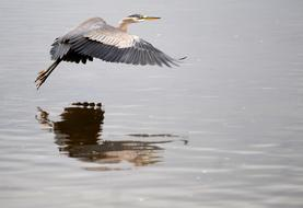 great blue heron flies over the surface of the lake