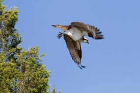 Bird Osprey Flying sky