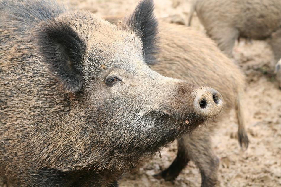 Sow Boar Pigs