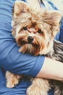 yorkshire terrier, Doggy on female hand