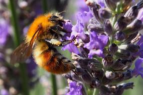 red Bee on purple lavender Blossom
