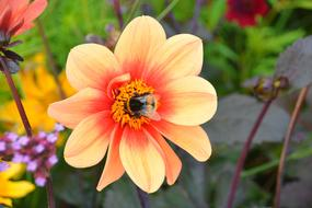 the bumblebee gathers nectar in the heart of the flower