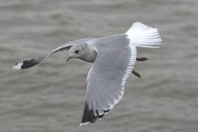 grey Herring Gull Seagull