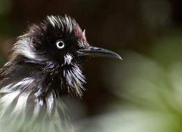 Holland Honeyeater Bird