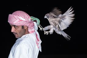 Falcon landing on arabian man shoulder