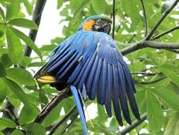 Blue And Yellow Macaw green tree