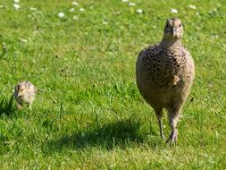 Pheasant Chicks green grass
