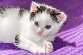 cute black and white kitten on a purple plaid