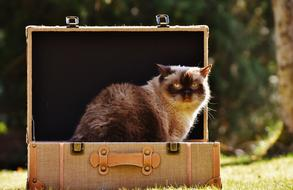 Cat British Shorthair in Luggage