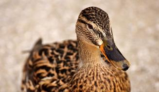 incredibly charming Mallard Brown