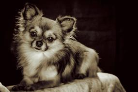 charmingly cute Chihuahua Small Dog