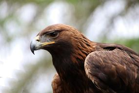 Golden Eagle, portrait of young bird