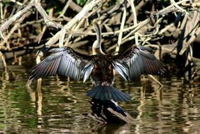 cormorant with wide open wings on driftwood in River