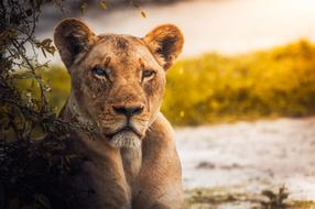 charmingly cute Lioness