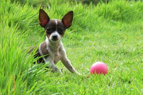Pooch Dog and pink Ball