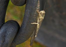 grey Grasshopper Insect