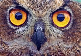 Owl Eyes orange