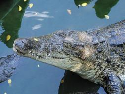 Crocodile Snout Lies water