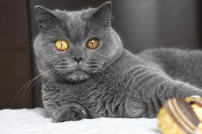 British Shorthair Cat staring