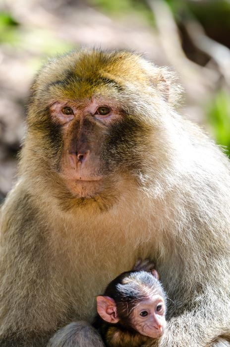 fur Macaque Monkey