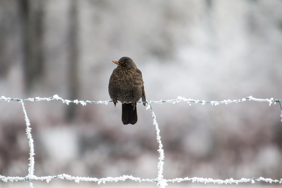 Blackbird Winter frost fence
