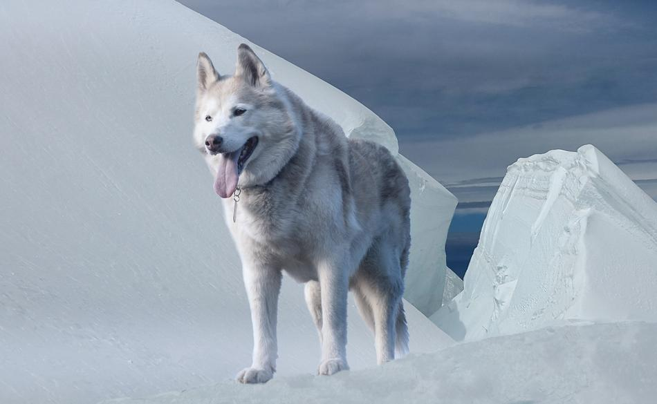 thoroughbred husky stands on the background of a glacier