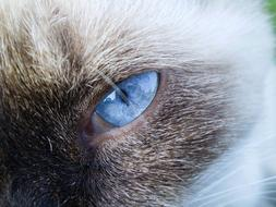 Cat Siamese with Blue Eyes