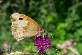 Meadow Brown Butterflie