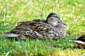 Ducks Waterfowl green grass