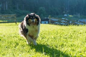 Dog Collie Purebred green grass