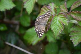Butterfly Speckled forest