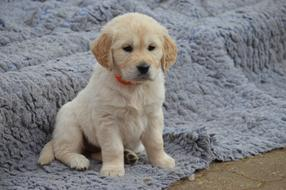 Dog Golden Retriever Puppy cute