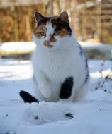Cat white red black Snow Winter