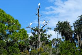flock of Herons on dry tree at Tropical forest