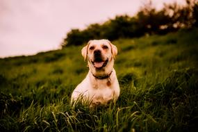 Dog sits on grass at dusk