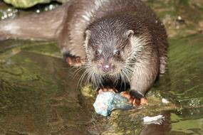 Otter Water rodent