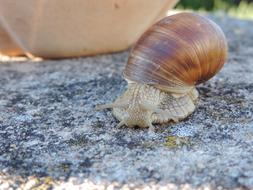 Snail crawling straight on ground