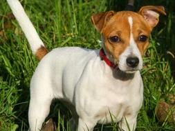 Dog Jack Russell Terrier green grass