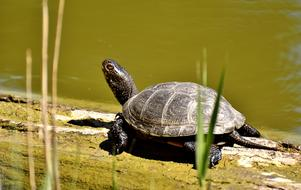 turtle walks on a log on the shore of a pond
