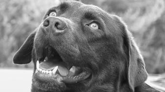 face of Labrador Dog with open mouth