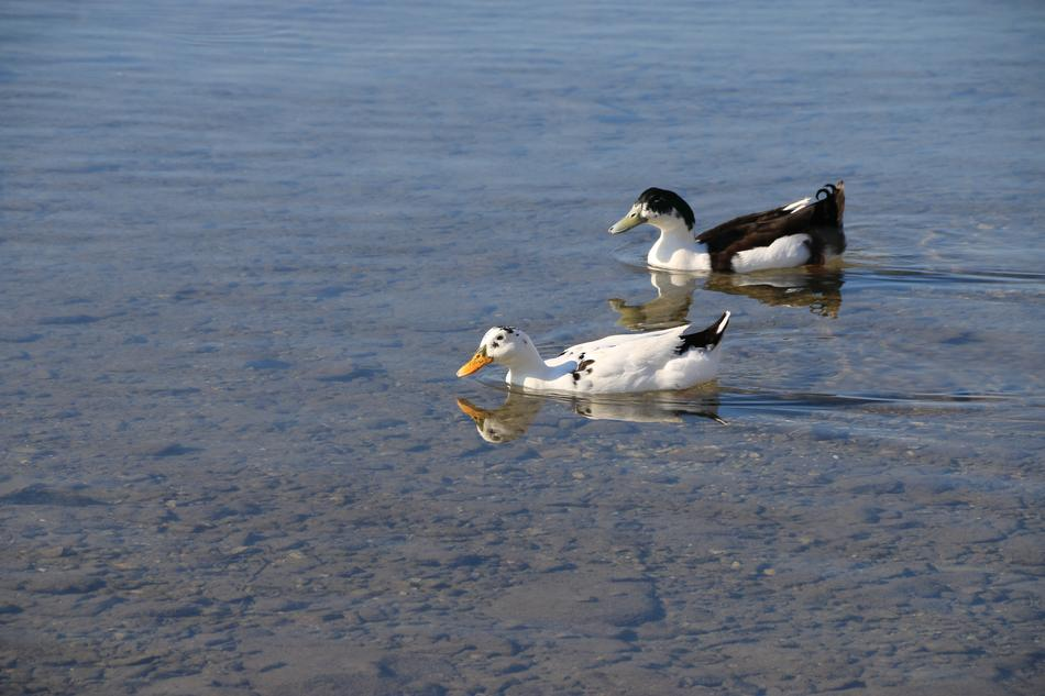 Duck Marine Bird water