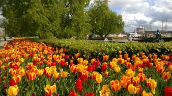perfect Tulips Port City