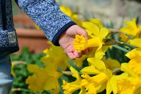 Daffodils flowers and Hand