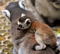 Lemur child on my mother's back